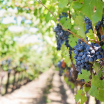 The Enchantment of Honeymooning in Napa Valley